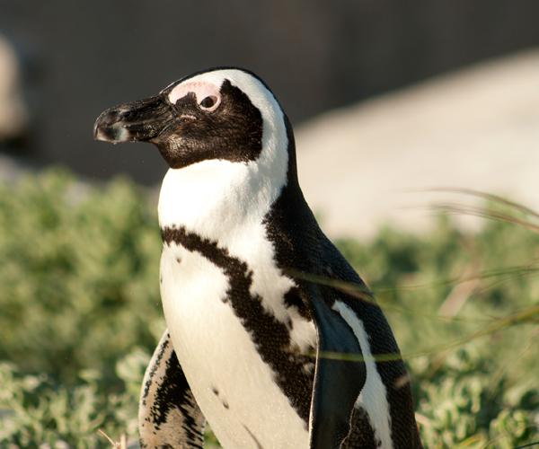 RootsAfrica_penguin